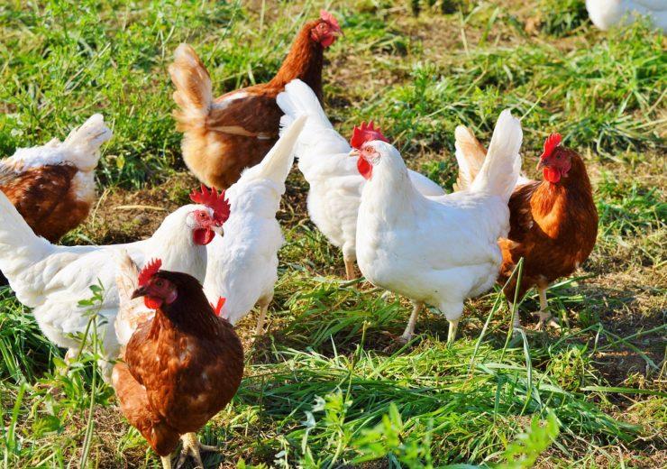chicken-2789493_1280