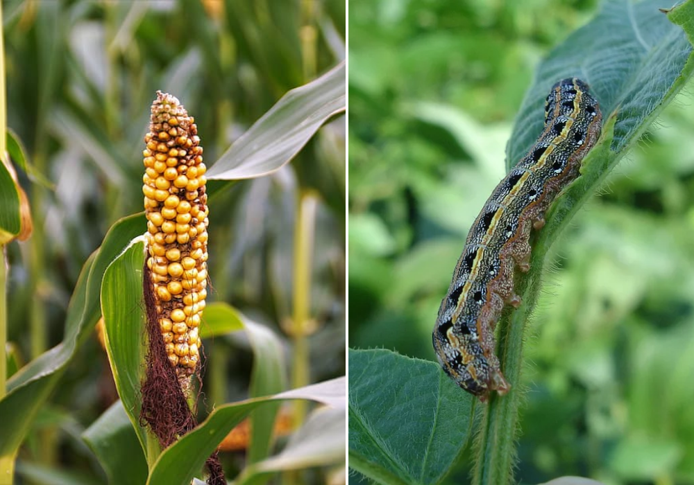 What is the fall armyworm pest and how is it affecting agriculture?