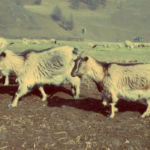 Blockchain cashmere farming