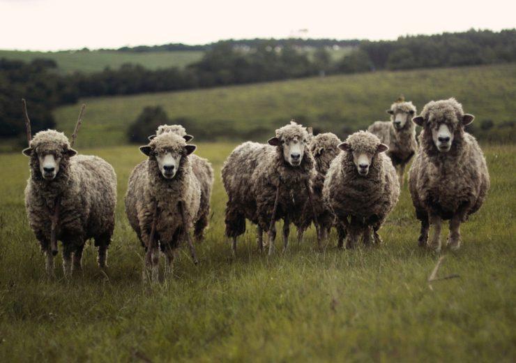 sheep-690371_1280