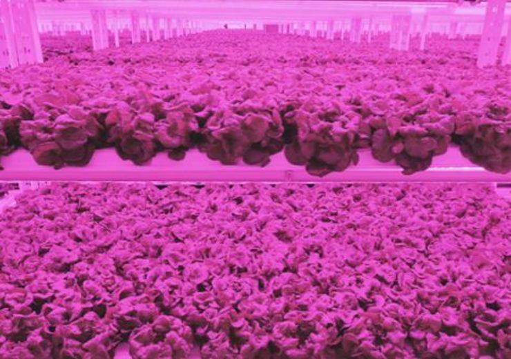 lettuce1.PNG