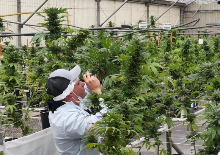 Green Point Research - Inspecting GPR hemp plants