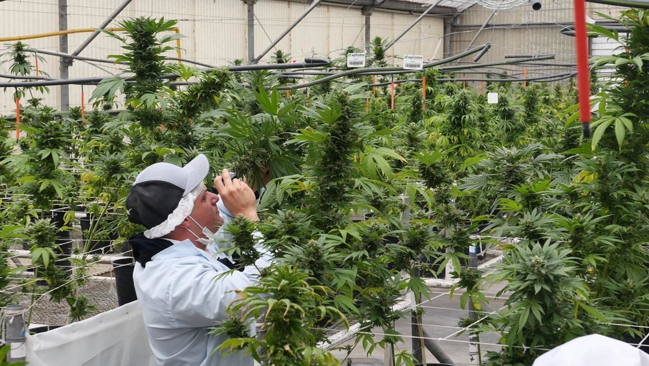 One of Green Point Research's employees inspecting hemp plants. (Credit: Green Point Research.)