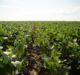 Syngenta introduces NK soybean varieties for 2021