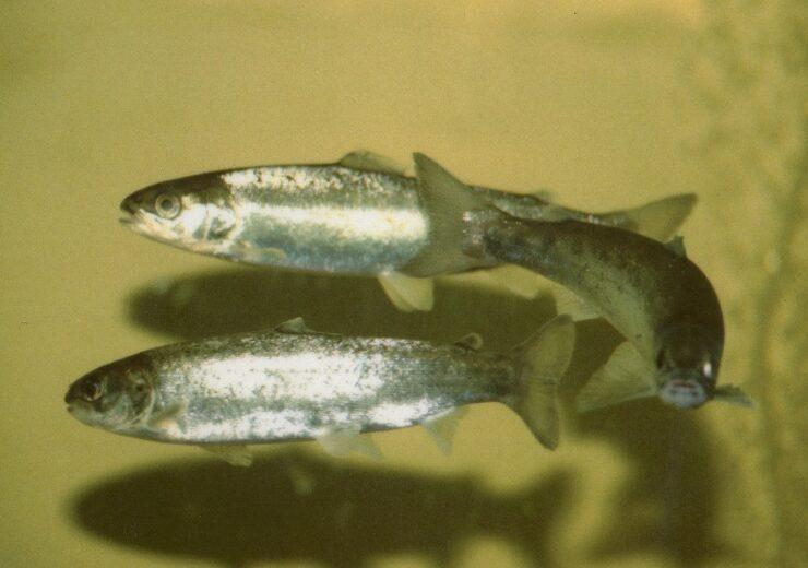 Atlantic Salmon Smolts